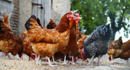 How to raise survival chickens